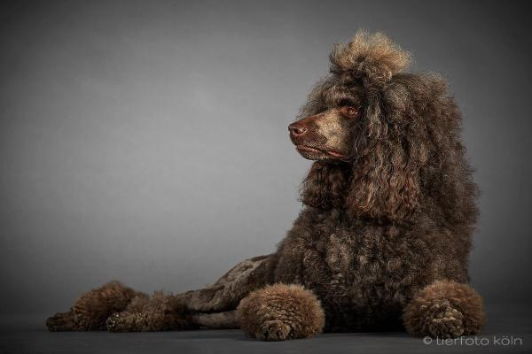 Jacom Ave Meeganius Standard Poodle brown