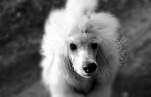weiße Großpudel Welpen vom Löwenlöckchen