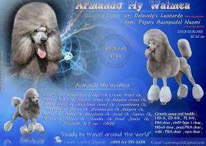 Standard Poodle Slver Stud dog
