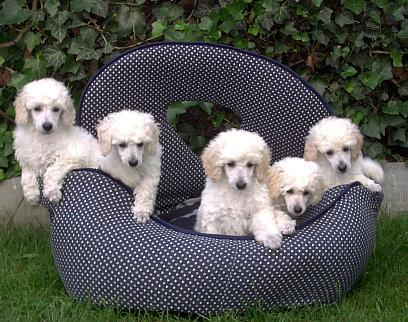 Winterdream's Poodles